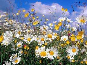 Ox-Eye-Daisies-Wallpaper