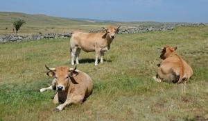 Vaches-de-race-Aubrac-près-de-Rieutoort-sur-le-plateau-de-l'Aubrac-DSC_0796
